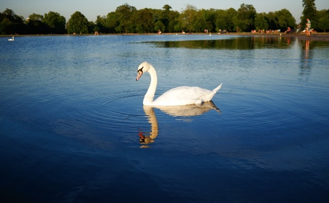 A swan in Hyde Park